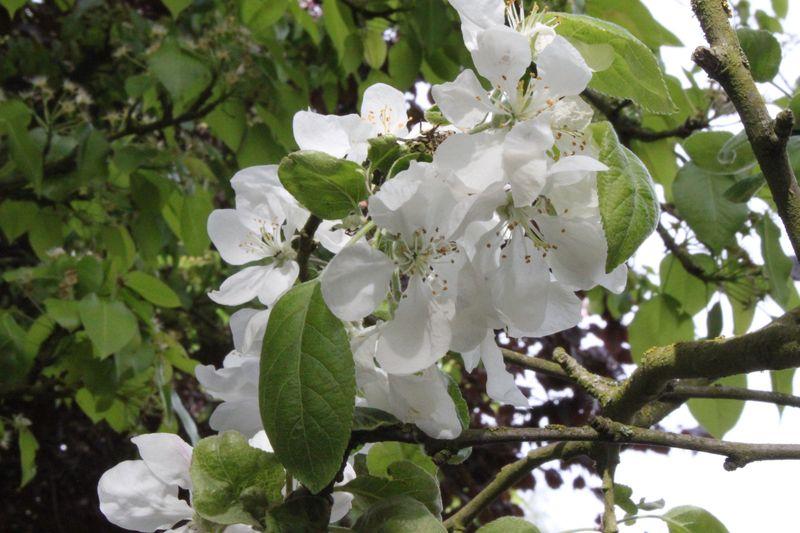 Fleur de pommier en avril